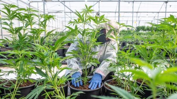 Regulamentação da canábis para uso medicinal entra em ação no Congresso
